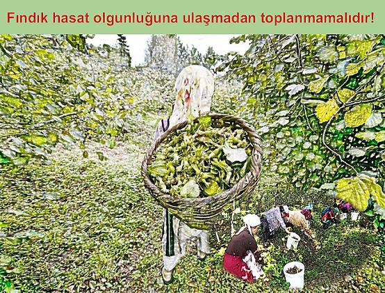 Fındık hasat olgunluğuna ulaşmadan