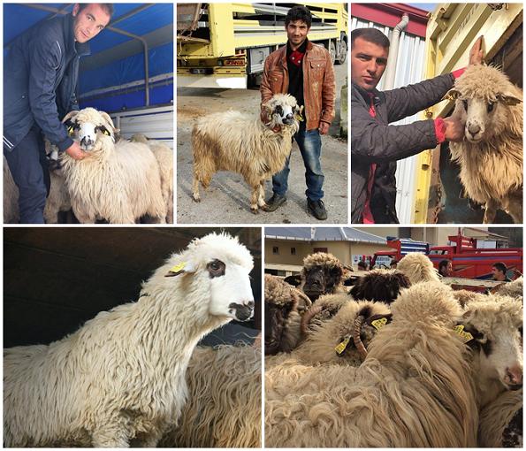 Genç Çiftçilere Damızlık Koyunları Teslim Ediliyor