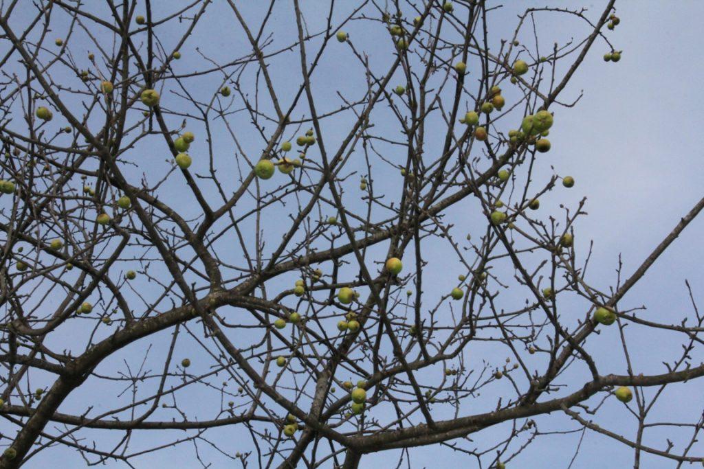 Güce'de Şubat Ayında Ağaçlar Meyve Verdi