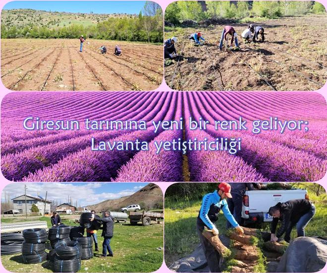 Giresun Tarımına Yeni Bir Renk Geliyor; Lavanta Yetiştiriciliği