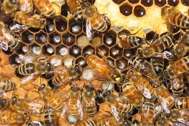 Giresun'da Ana Arı Üretim Kapasitesi Artıyor