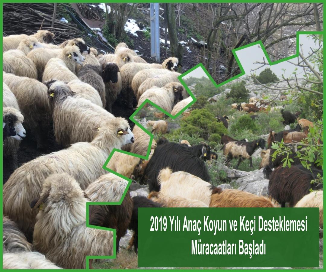 Anaç Koyun ve KeçiDesteklemesi Müracaatları