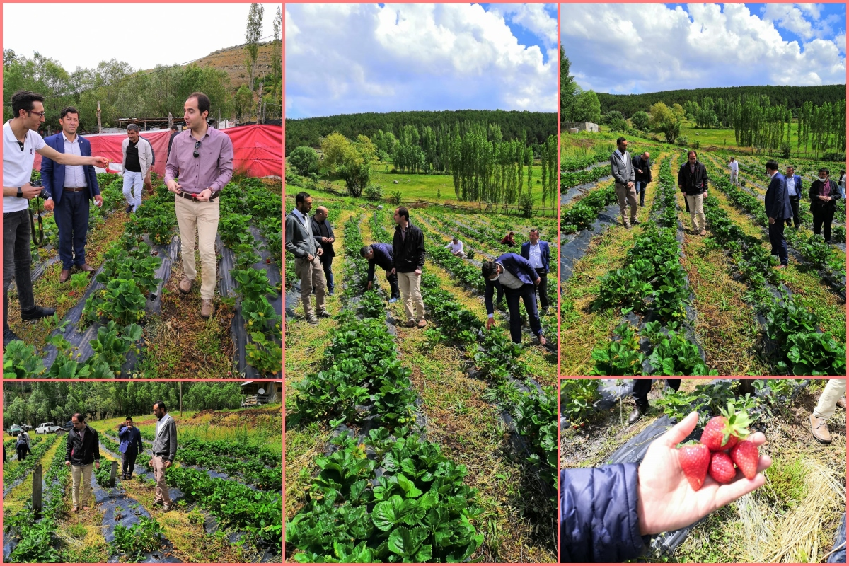 Projeli Çilek Bahçelerinde 2020 Yılı Çilek Hasadına Başlanıldı