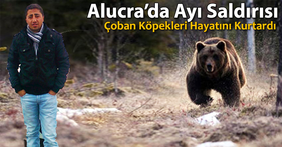 Alucra'da Ayı Saldırdı, Köpekleri Hayatını Kurtardı