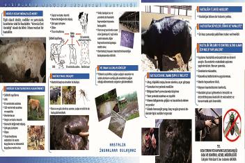 Sığırların Nodüler Ekzantemi Aşılama Kampanyası Devam