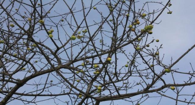 Güce'de Şubat Ayında Ağaçlar Meyve