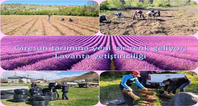 Giresun Tarımına Yeni Bir Renk Geliyor Lavanta