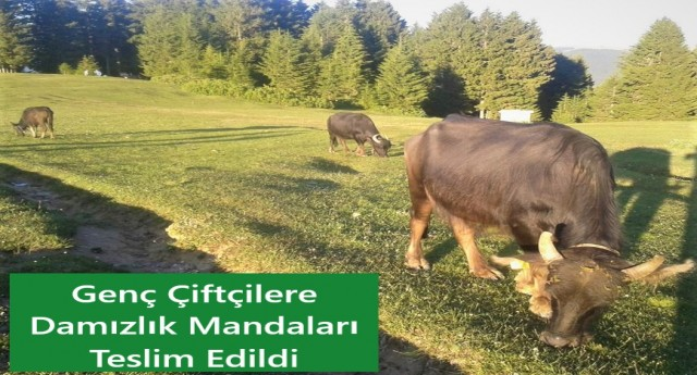 Genç Çiftçilere Damızlık Mandaları Teslim
