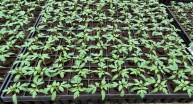 Çiftçilere tohum fide ve fidan