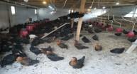 Giresun'da Organik Yumurta Üretimi